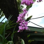 Cooktown Orchid at Thala