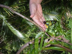 A newly hatched Cairns Birdwing Butterfly.