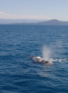 humpback-whale-off-cape-kimberley