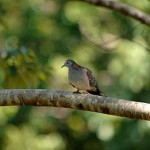 Bar Shouldered Dove