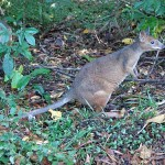 Red-legged Pademelon in rainforest