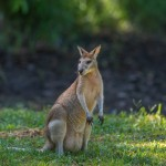 Wild wallabies roam the forest