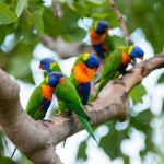 Rainbow lorikeets in Thala's native forest