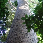 Looking Up a Kauri into canopy