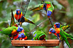 Lorikeets feeding at Thala North of Cairns Australia