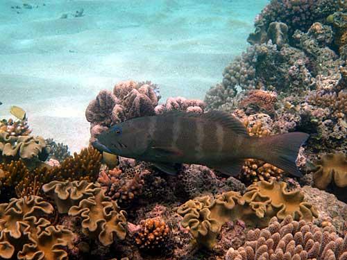 Coral Trout Australia