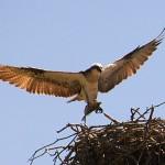 osprey australia