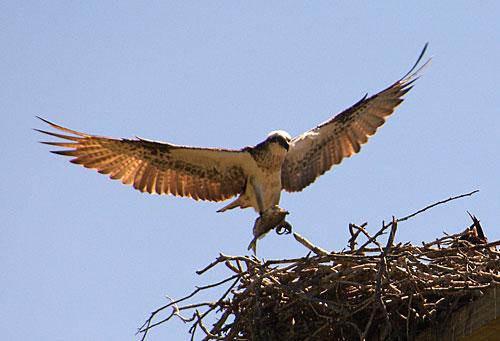 Osprey Nest at Thala
