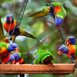 Rainbow Lorikeets At Thala Beach Lodge