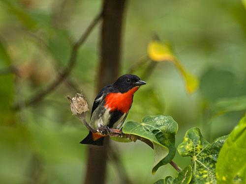 Mistletoe Bird Australia