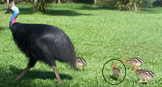 Cassowary Identification Project Mission Beach Australia