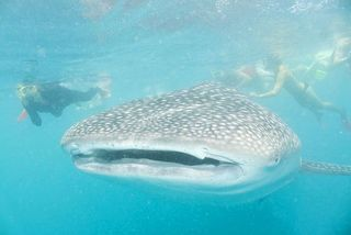 Whale Shark On The Great Barrier Reef Australia