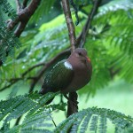Emerald Ground Dove