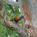 Rainbow Lorikeet at Thala Beach Lodge