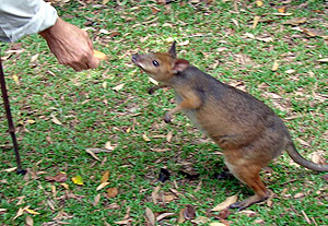 david armbrust pademelon daintree