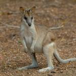 agile wallaby australia