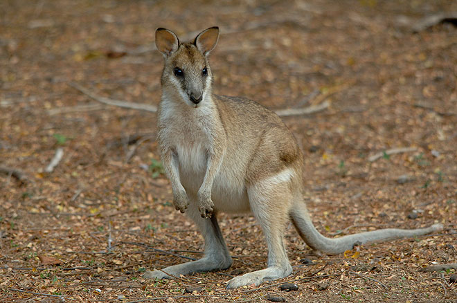 agile wallaby australia