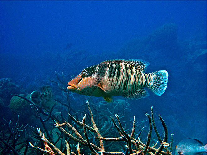 maori wrasse great barrier reef