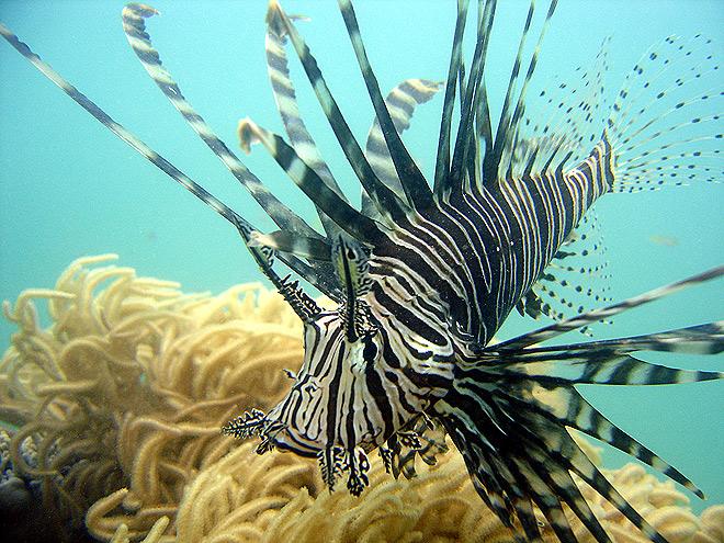 Butterfly Cod Australia