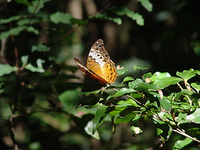 cruiser butterfly female