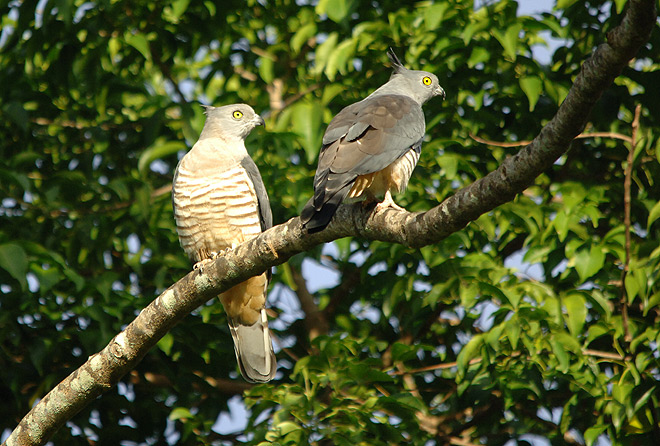 crested hawks australia