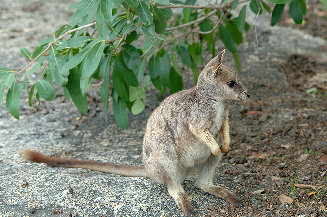 rock wallaby 2