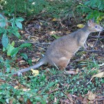 Red legged Pademelon Julatten