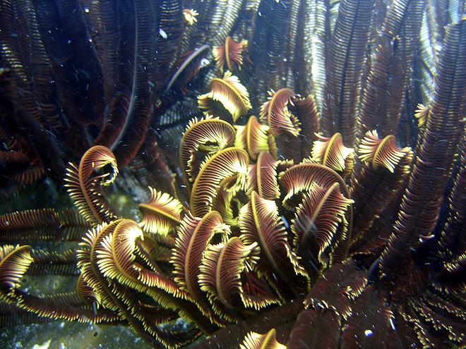 Crinoids The Great Barrier Reef Australia