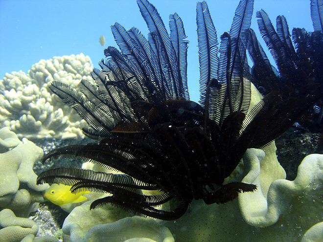 crinoid east tongue reef australia