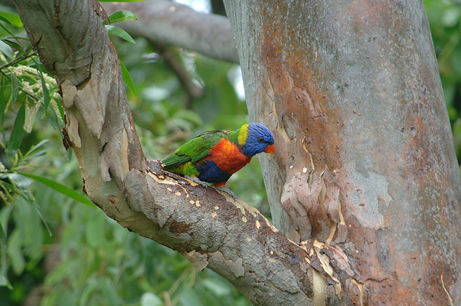 rainbow lorikeet thala beach lodge