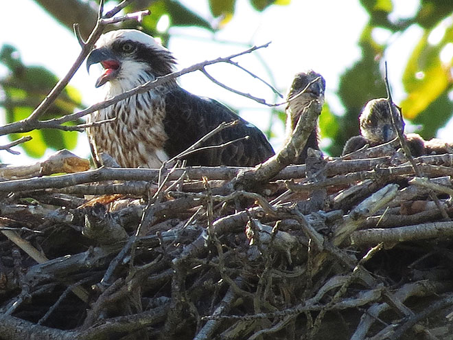 The growing Osprey family at Thala