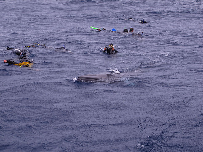 minke whale cavorting with snorkellers