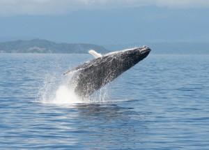 Humpback whale on Great Barrier Reef. Photo Robert Prettejohn