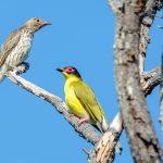Bird trails North Queensland |Thala Beach Nature Reserve