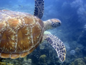 Green Sea Turtle at Low Isles