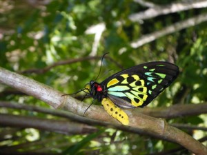 The newly emerged Cairns Birdwing Butterfly in the rainforest.