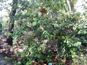 A Cedar Bay Cherry at Thala.