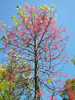 A Flame Tree at Thala Beach Lodge.