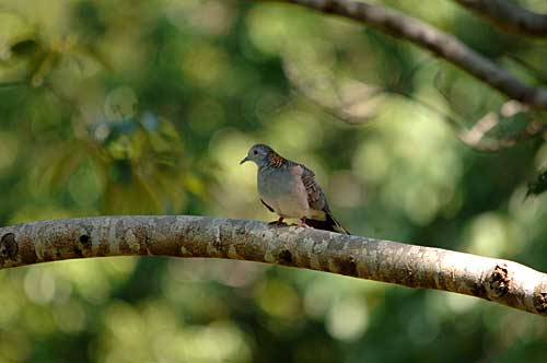 https://www.thalabeach.com.au/wp-content/uploads/2010/07/Bar-shouldered-Dove-at-Thala-.jpg