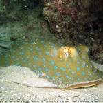 Blue spotted lagoon ray