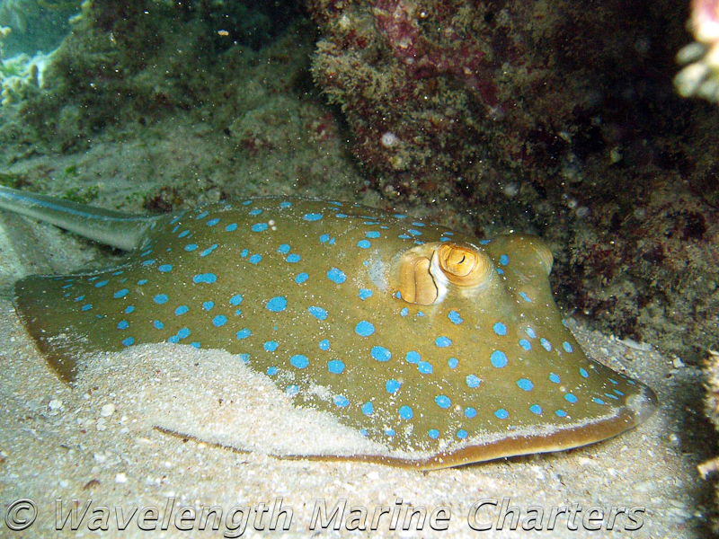 https://www.thalabeach.com.au/wp-content/uploads/2010/07/Blue-Spotted-Lagoon-Stingray.jpg
