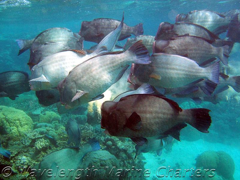 https://www.thalabeach.com.au/wp-content/uploads/2010/07/Bumphead-Parrotfish.jpg
