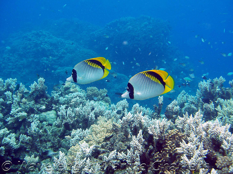 https://www.thalabeach.com.au/wp-content/uploads/2010/07/Butterfly-Fish-Pair.jpg