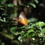 Female cruiser butterfly