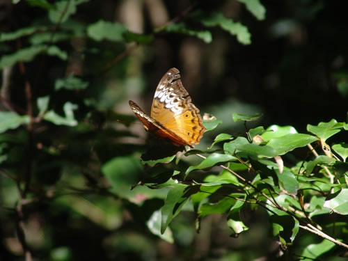 https://www.thalabeach.com.au/wp-content/uploads/2010/07/Cruiser-butterfly-female_jpg_jpg.jpg