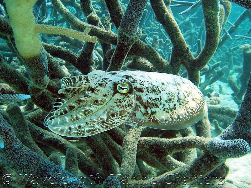 https://www.thalabeach.com.au/wp-content/uploads/2010/07/Cuttlefish.jpg