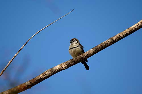 https://www.thalabeach.com.au/wp-content/uploads/2010/07/Double-barred-Finch.jpg