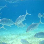 Gold Spotted Trevally