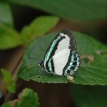 Greenbanded blue butterfly