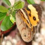 Thala Beach Butterfly